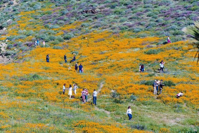 Choáng ngợp trước hiện tượng hoa siêu bung nở cực hiếm gặp, khiến cả sa mạc như sống dậy - Ảnh 13.