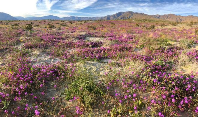Choáng ngợp trước hiện tượng hoa siêu bung nở cực hiếm gặp, khiến cả sa mạc như sống dậy - Ảnh 3.