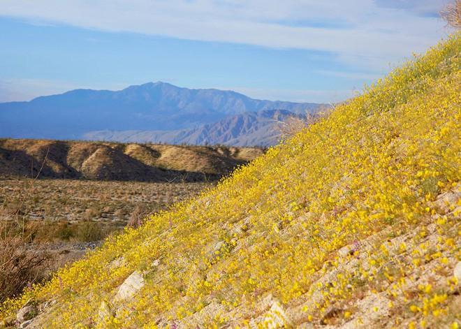 Choáng ngợp trước hiện tượng hoa siêu bung nở cực hiếm gặp, khiến cả sa mạc như sống dậy - Ảnh 5.