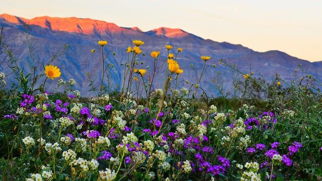 Choáng ngợp trước hiện tượng hoa siêu bung nở cực hiếm gặp, khiến cả sa mạc như sống dậy - Ảnh 10.