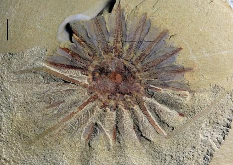 Phát hiện hóa thạch 520 tuổi của quái vật biển 18 xúc tu - Ảnh 1.