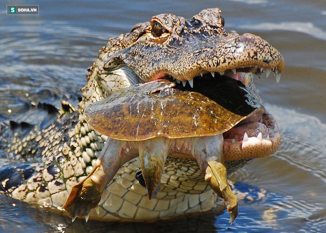 Vua hủy diệt: Cận cảnh loài động vật có cú cắn mạnh nhất hành tinh - Ảnh 20.