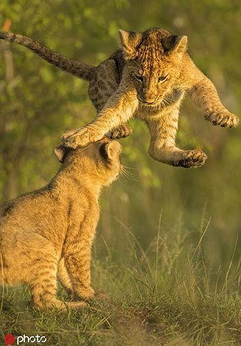 Bất ngờ với bộ ảnh kịch chiến của anh em sư tử con - Ảnh 3.