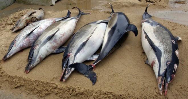 Pháp đi tìm lời giải cho thảm cảnh 1.100 con cá heo bị giết hại một cách bí ẩn dạt vào bờ biển - Ảnh 1.