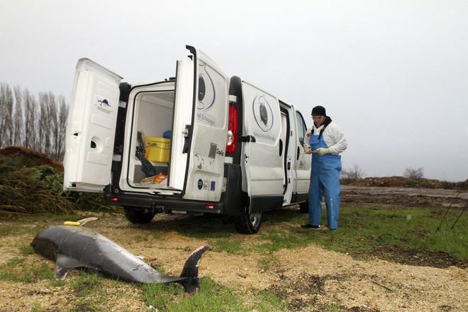 Pháp đi tìm lời giải cho thảm cảnh 1.100 con cá heo bị giết hại một cách bí ẩn dạt vào bờ biển - Ảnh 2.
