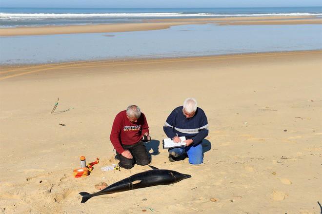 Pháp đi tìm lời giải cho thảm cảnh 1.100 con cá heo bị giết hại một cách bí ẩn dạt vào bờ biển - Ảnh 3.