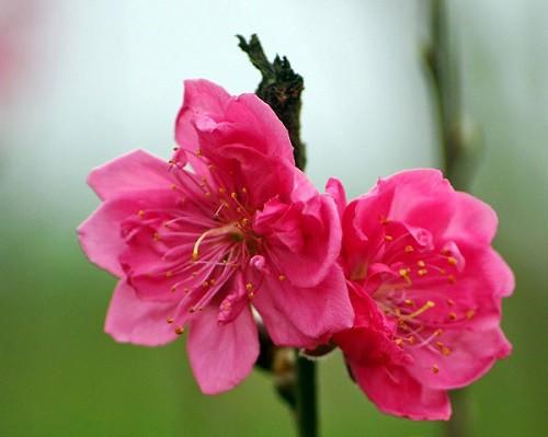 Hoa đào, vị thuốc quý - Ảnh 1.