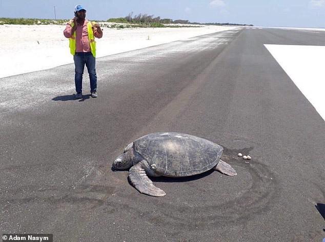 Xót xa cảnh tượng rùa hiếm Maldives lặn lội về quê đẻ trứng, nào ngờ tổ đã biến thành đường băng sân bay - Ảnh 1.