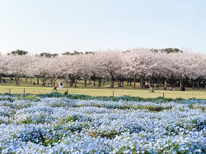 Thiên đường hoa gây sốt Nhật Bản: Hàng cây anh đào kết hợp rừng hoa mắt xanh đẹp như một giấc mơ - Ảnh 4.