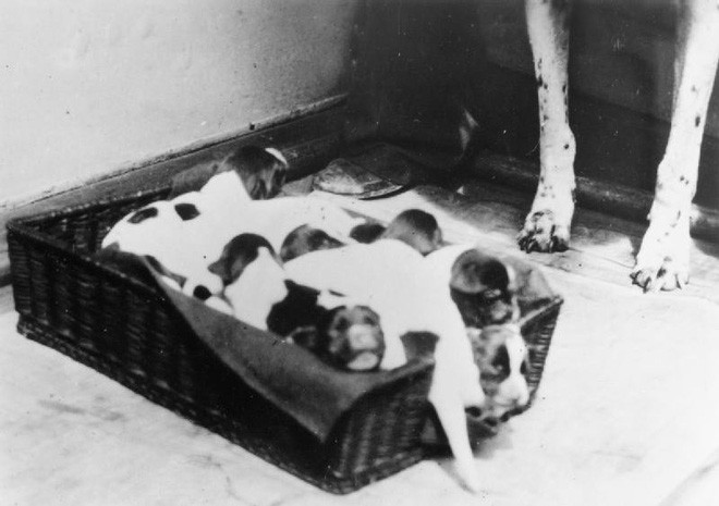 Những người lính bốn chân: Cô chó Judy, tù binh chiến tranh đặc biệt của Thế Chiến thứ Hai - Ảnh 2.