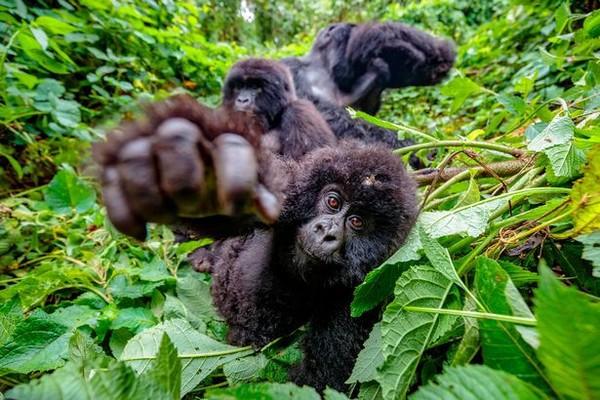 Khỉ đột tạo dáng như người trong bức ảnh selfie gây bão mạng - Ảnh 2.