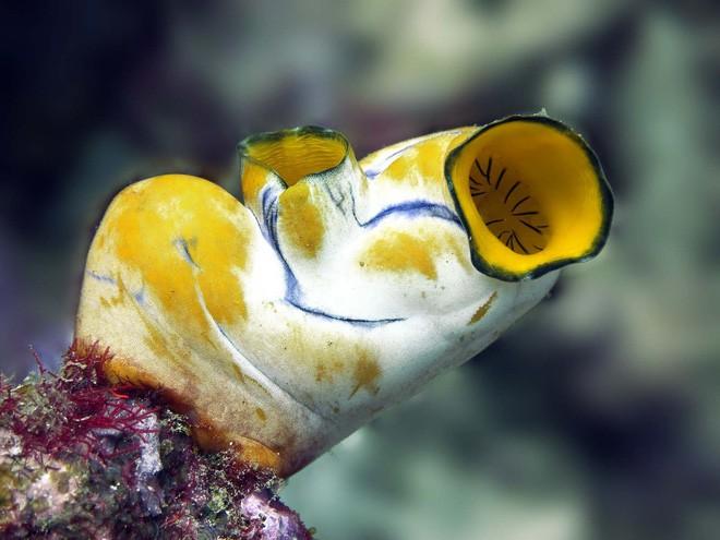 Pha dậy thì thất bại của loài hải tiêu: Lúc nhỏ xinh lắm ai ơi, lớn lên xấu xí tự xơi não mình - Ảnh 7.