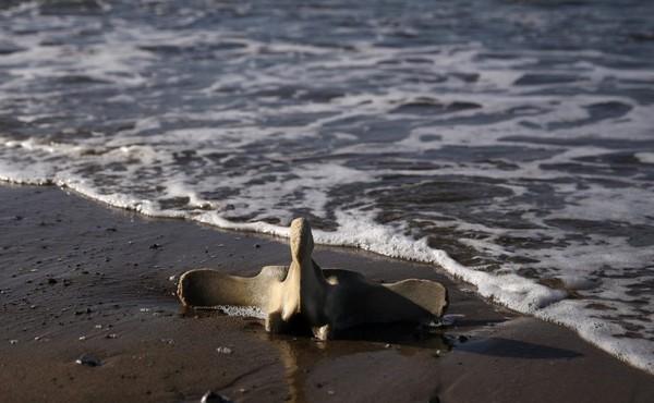 Bí ẩn đằng sau cái chết của hàng chục con cá voi xám với bụng trống rỗng - Ảnh 2.
