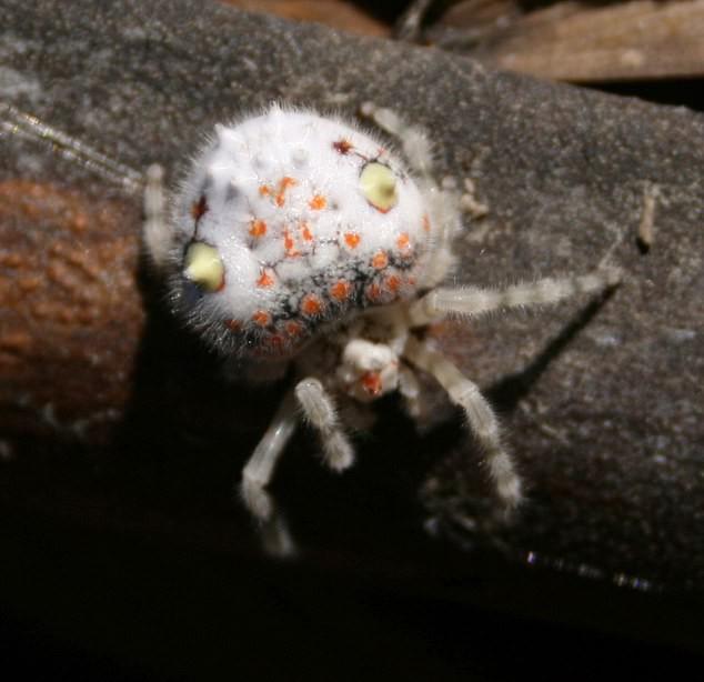 Lại là nước Úc kỳ quái: Người đàn ông hoảng hồn phát hiện con nhện trông như miếng sushi đang bò trong nhà - Ảnh 1.