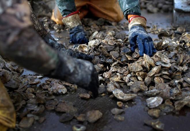 Hàu là công nhân vệ sinh cho đại dương, nhưng chúng ta đã tiêu diệt đến 90% loài sinh vật này - Ảnh 6.