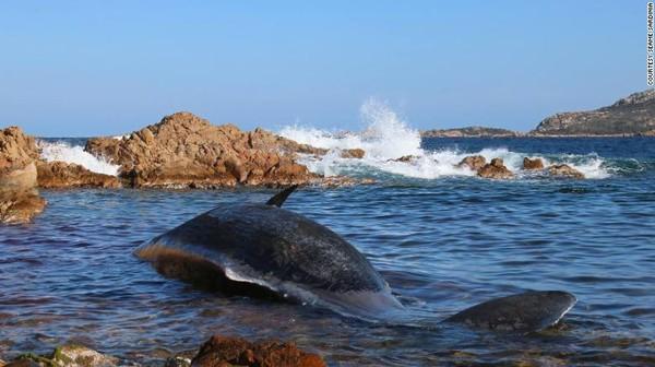Phát hiện gây sốc trong bụng xác cá voi mang thai dài 8 m trôi dạt vào bờ biển - Ảnh 2.