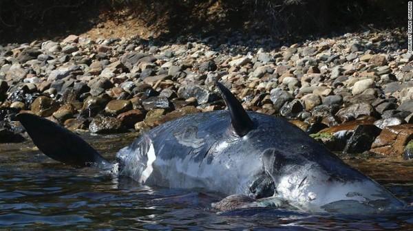 Phát hiện gây sốc trong bụng xác cá voi mang thai dài 8 m trôi dạt vào bờ biển - Ảnh 1.