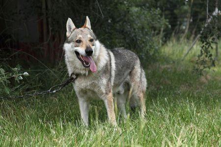 10 loài chó hung hãn và nguy hiểm nhất thế giới - Ảnh 6.