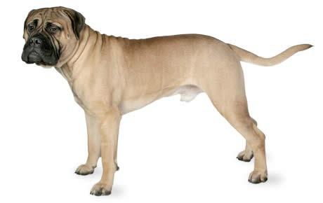 10 loài chó hung hãn và nguy hiểm nhất thế giới - Ảnh 7.