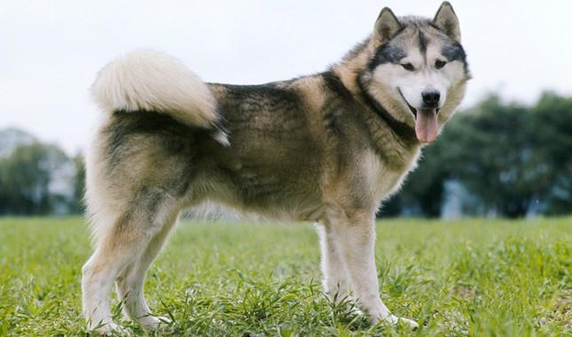 10 loài chó hung hãn và nguy hiểm nhất thế giới - Ảnh 10.