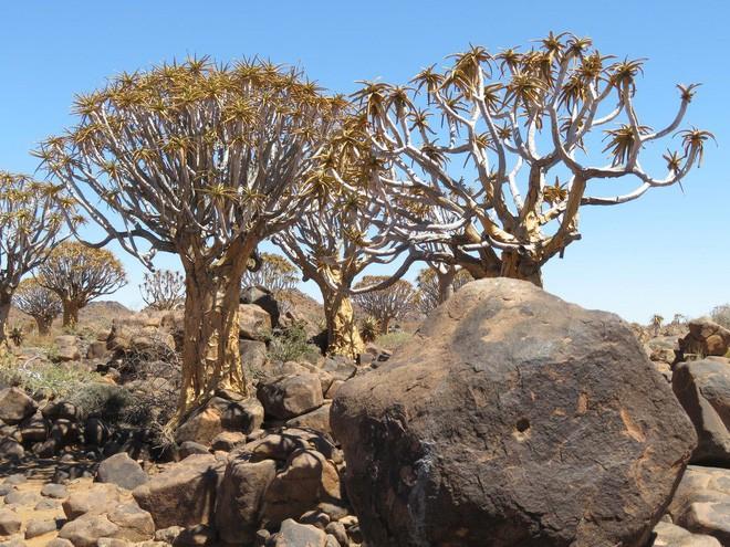 Loài cây như gốc rễ lộn ngược này hóa ra còn quý hơn cả kim cương đối với người Namibia - Ảnh 2.