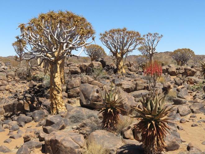 Loài cây như gốc rễ lộn ngược này hóa ra còn quý hơn cả kim cương đối với người Namibia - Ảnh 3.