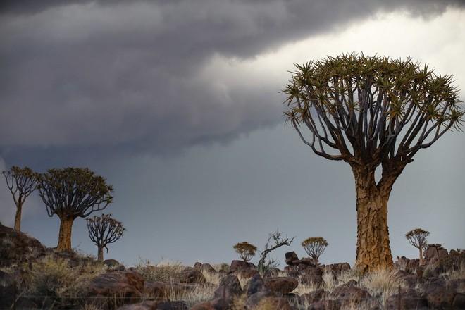 Loài cây như gốc rễ lộn ngược này hóa ra còn quý hơn cả kim cương đối với người Namibia - Ảnh 4.