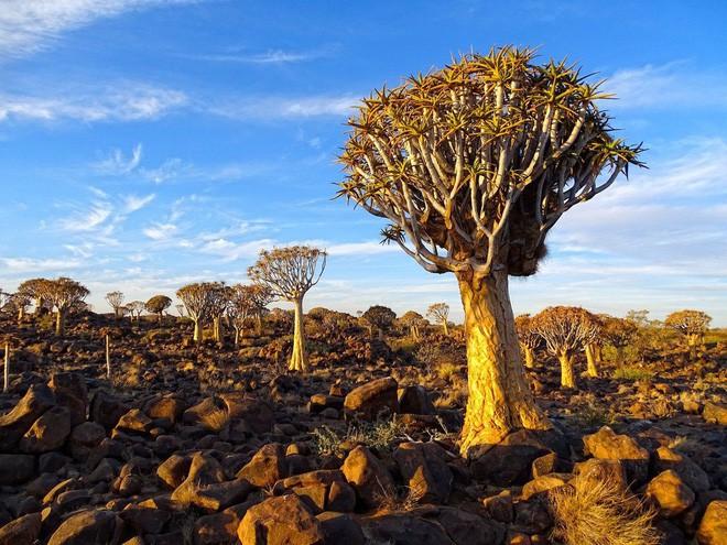 Loài cây như gốc rễ lộn ngược này hóa ra còn quý hơn cả kim cương đối với người Namibia - Ảnh 5.