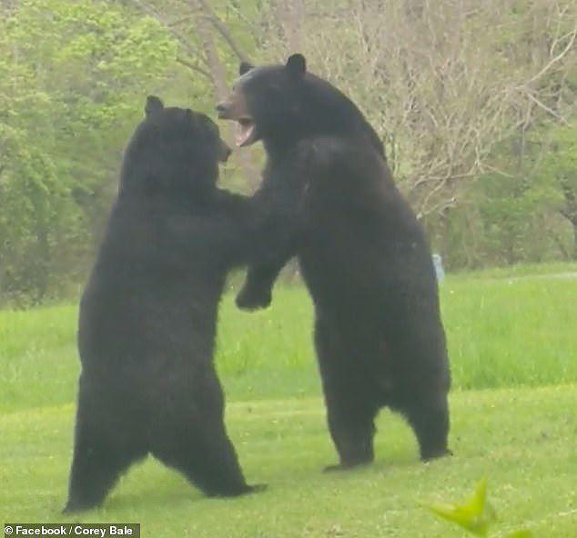 Thích thú hình ảnh hai con gấu đen hỗn chiến như đang cãi nhau - Ảnh 2.