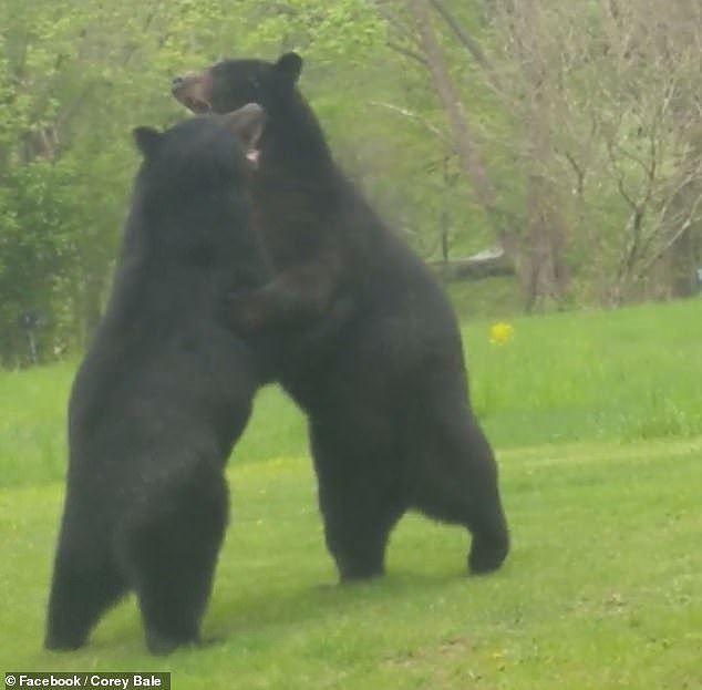 Thích thú hình ảnh hai con gấu đen hỗn chiến như đang cãi nhau - Ảnh 3.