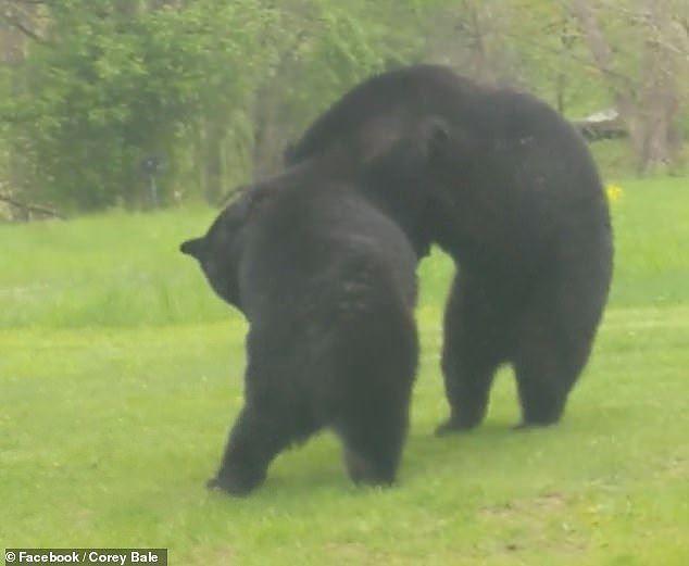 Thích thú hình ảnh hai con gấu đen hỗn chiến như đang cãi nhau - Ảnh 4.