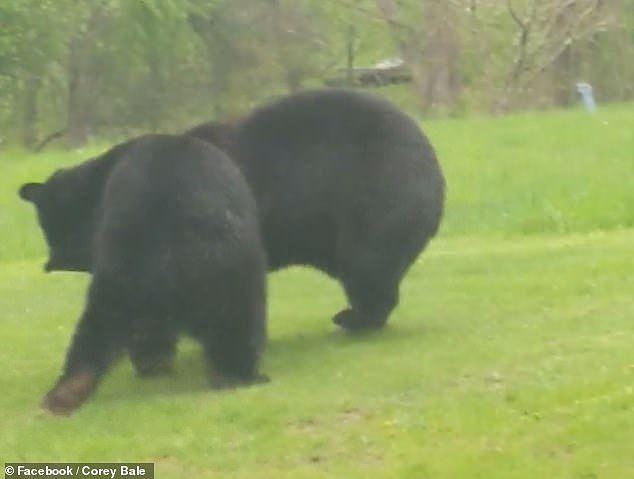 Thích thú hình ảnh hai con gấu đen hỗn chiến như đang cãi nhau - Ảnh 7.