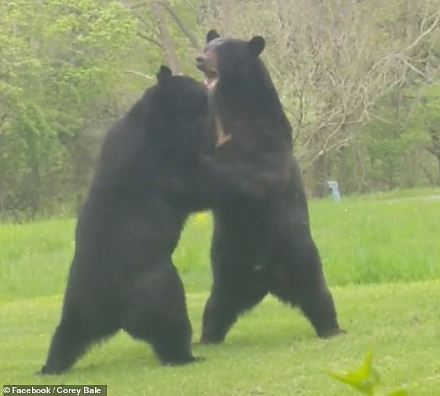 Thích thú hình ảnh hai con gấu đen hỗn chiến như đang cãi nhau - Ảnh 8.