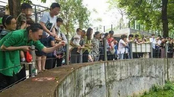 Ham ăn đồ ăn của du khách, đám gấu mèo ở sở thú Trung Quốc bỗng phát phì, giảm hẳn khả năng sinh sản - Ảnh 1.