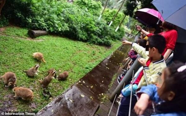 Ham ăn đồ ăn của du khách, đám gấu mèo ở sở thú Trung Quốc bỗng phát phì, giảm hẳn khả năng sinh sản - Ảnh 2.