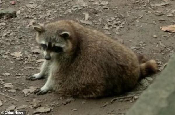 Ham ăn đồ ăn của du khách, đám gấu mèo ở sở thú Trung Quốc bỗng phát phì, giảm hẳn khả năng sinh sản - Ảnh 4.