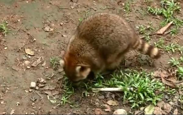 Ham ăn đồ ăn của du khách, đám gấu mèo ở sở thú Trung Quốc bỗng phát phì, giảm hẳn khả năng sinh sản - Ảnh 7.