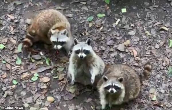 Ham ăn đồ ăn của du khách, đám gấu mèo ở sở thú Trung Quốc bỗng phát phì, giảm hẳn khả năng sinh sản - Ảnh 8.