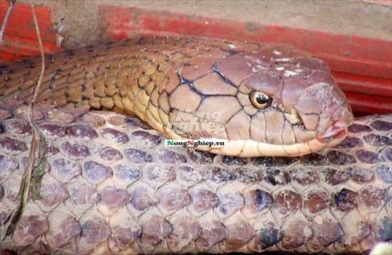 Cận cảnh cặp rắn khủng nặng 60kg, đầu to bằng nửa cục gạch vừa bắt được ở chân núi Cấm - Ảnh 2.