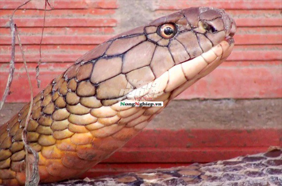 Cận cảnh cặp rắn khủng nặng 60kg, đầu to bằng nửa cục gạch vừa bắt được ở chân núi Cấm - Ảnh 3.