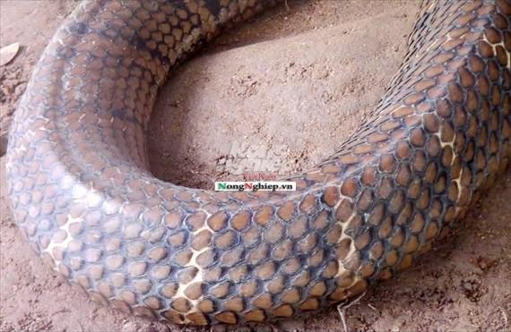 Cận cảnh cặp rắn khủng nặng 60kg, đầu to bằng nửa cục gạch vừa bắt được ở chân núi Cấm - Ảnh 4.