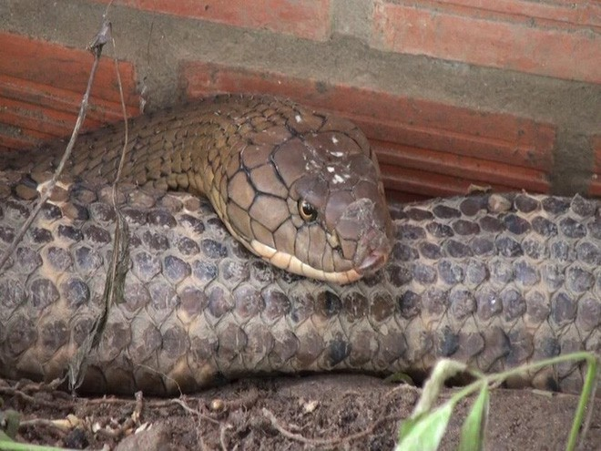 Thông tin bất ngờ về cân nặng của cặp rắn hổ mang chúa khủng bắt được ở chân núi Cấm - Ảnh 2.