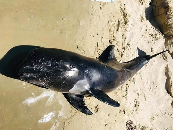 Cá voi nặng hơn 100 kg dạt vào bờ biển ở Bình Thuận - Ảnh 1.
