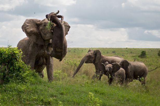 Cảm thấy nguy hiểm, voi mẹ hất tung kẻ xâm phạm nặng đến nửa tấn lên trời - Ảnh 3.