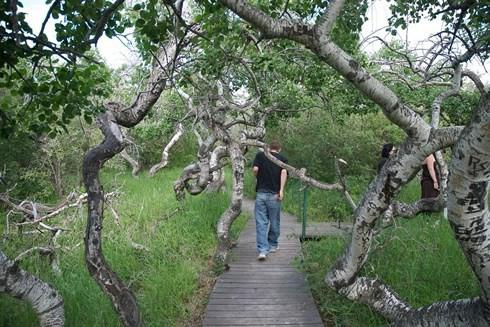 Kỳ quái vườn cây cổ thụ xoắn ốc ở Canada - Ảnh 1.