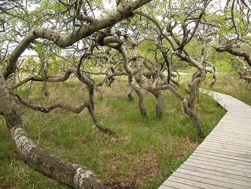 Kỳ quái vườn cây cổ thụ xoắn ốc ở Canada - Ảnh 3.