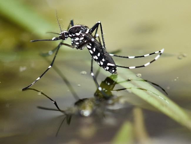 10 loài sinh vật du nhập nhỏ nhưng có võ từng tàn phá hệ sinh thái các nước, gây hại cho con người và tổn thất về kinh tế - Ảnh 3.