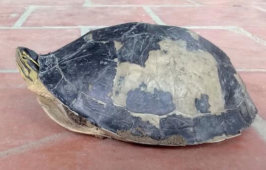 Hết rắn và trăn khủng, người dân An Giang lại phát hiện rùa lạ hiếm - Ảnh 1.