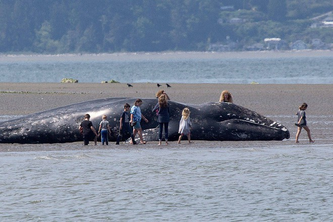 Phát hiện xác 9 con cá voi xám trôi dạt vào vùng biển California - Ảnh 3.