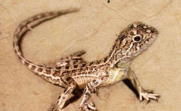 Có một loài rồng thực sự tồn tại trên Trái đất nhưng đã mất tích mà khoa học không hề hay biết - Ảnh 4.